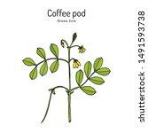 coffee pod  senna tora   or... | Shutterstock .eps vector #1491593738