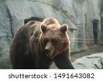 big brown bear through the zoo... | Shutterstock . vector #1491643082