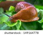 A Slug In The Garden Eating A...