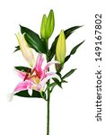 pink lily flower  isolated on... | Shutterstock . vector #149167802