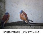 Two American Kestrels  Falco...