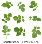 Green Rose Leaf Isolated On...