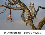 Leopard In The Tree With The...