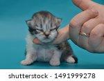 Stock photo newborn cute kittens scottish purebreed white and blue background 1491999278