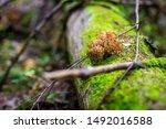 Edible Autumn Mushrooms Russia...