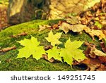 Yellow Fallen Maple Leaves In...