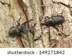 Male And Female Stag Beetles ...