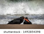 Small photo of Black oyster catcher bird, at a surf beach in New Zealand
