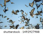 Group Of The Pigeons On Fly...