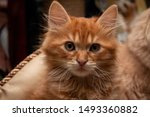Stock photo funny red kitten close up on a blurred background 1493360882