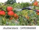 Spraying A Fruit Crop Of Apple...
