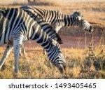 Closeup Portrait Of Zebras In...