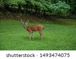 Large Buck With Velvet Antlers...