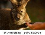 Visitor Feeding A Wallaby At...
