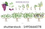 grapevine growing stages... | Shutterstock .eps vector #1493666078