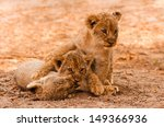 cute lion cubs playing in the... | Shutterstock . vector #149366936