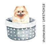 Pomeranian Dog. Portrait Of A...