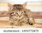 Stock photo cute little grey kitten with blue eyes relaxing closeup portrait of red kitten the kitten looks 1493772875