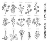 herbs collection. medical... | Shutterstock .eps vector #1493783018