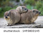 Group Of Wet Rained Dassie Or...