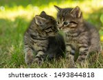 Stock photo two cute little grey kitten with blue eyes kittens on the hunt closeup portrait of grey kittens 1493844818