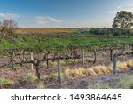Vineyard And Abandoned Shed In...