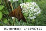 Hoary Edge Skipper Moth...