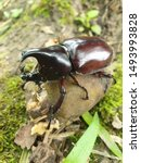 Small photo of Scarab beetle on a seed of an unknown tree. Close up of scarab beetle in nature.