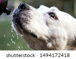 Dog Drinking Water From A...