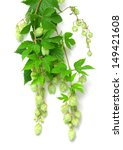 branch of hops on a white... | Shutterstock . vector #149421608