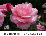 Pink Rose In Bloom With Droplets