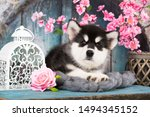 Stock photo alaskan malamute puppy black and white puppy with long fluffy hair 1494345152