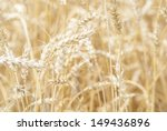 macro image of wheat crop ready ... | Shutterstock . vector #149436896