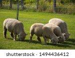 Beautiful Friendly Sheeps...