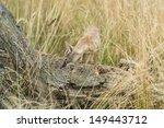 corsac fox vulpes corsac  | Shutterstock . vector #149443712