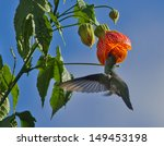 white bellied hummingbird... | Shutterstock . vector #149453198