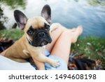 Cute Puppy French Bulldog In...