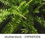 Nephrolepis Exaltata Fern Leaves