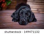 Labrador Retriever In The...
