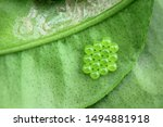 Macro Stink Bug Eggs On Leaf