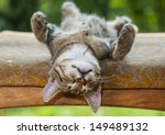 Stock photo gray kitten is resting in a bizarre posture 149489132