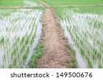 walkway in rice farm  | Shutterstock . vector #149500676