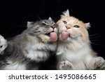 Two Young Maine Coon Cats...