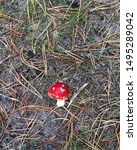 Small Red Mushroom Fly Agaric...