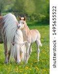 A Cute Little Haflinger Horse...