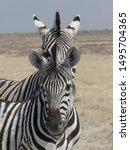 Zebra Peeking Out Above Anothe...