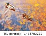 Two Mallard Ducks On A Water I...