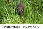 Lurking muskrat. Or dining muskrat? Could be both.