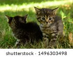 Stock photo two cute little grey kitten with blue eyes kittens on the hunt closeup portrait of grey kittens 1496303498