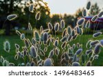Stock photo lagurus ovatus commonly called hare s tail hare s tail grass or bunnytail 1496483465